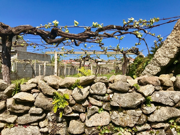 vides grape vines Spring Cambados galicia wine rias baixas photo art travel