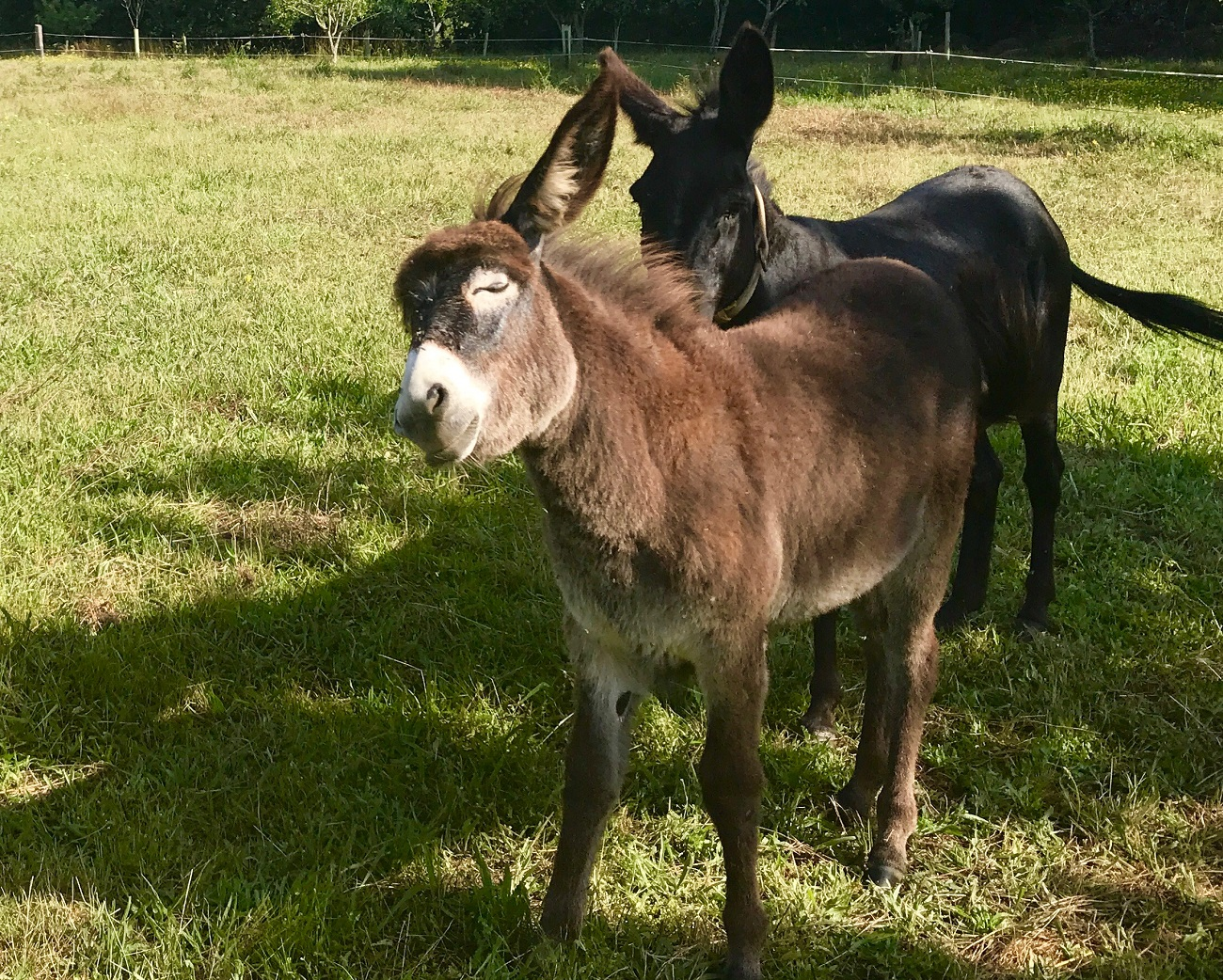 Donkeys burro tanquian organic farm panton ribeira sacra galicia animals photo art travel