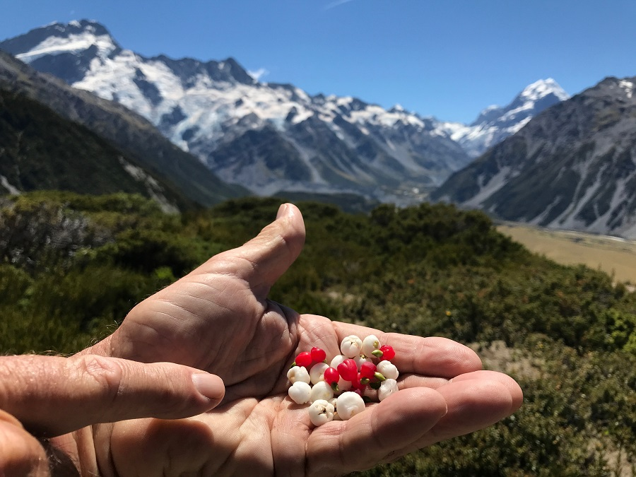Wild berries Aoraki National Park Red Tarns track hiking image photo
