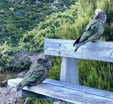 Kea native birds Red Tarn track Aoraki Mt Cook National Park New Zealand wildlife image photo