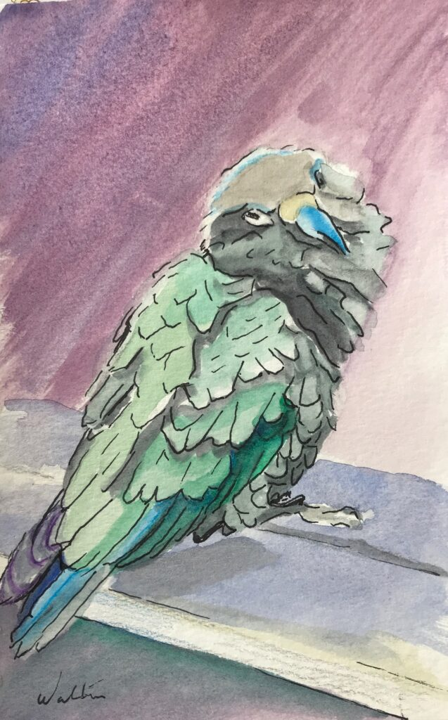 watercolour painting Kea native bird Aoraki National Park original artwork Leonie Walton